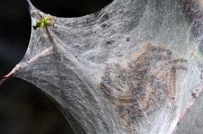 Gregarious tent caterpillars rest inside their silken nest.