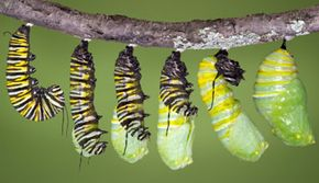 A monarch caterpillar twists to embed its cremaster in a silk pad. Then, it sheds its skin one final time, revealing its chrysalis.