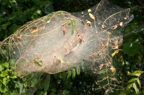 The caterpillars in this tent have stripped the leaves from many branches of a tree.