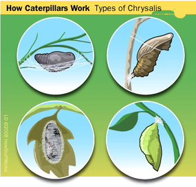 Caterpillars use different types of support for their chrysalis. Clockwise from the top right: a silk hammock, a silk pad and supportive loop, a silk cocoon on a leaf, and a suspended chrysalis.