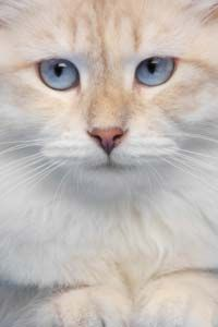 The most popular pets in the country, cats come in all shapes and sizes, including this beautiful long-haired variety. See more pictures of cats.