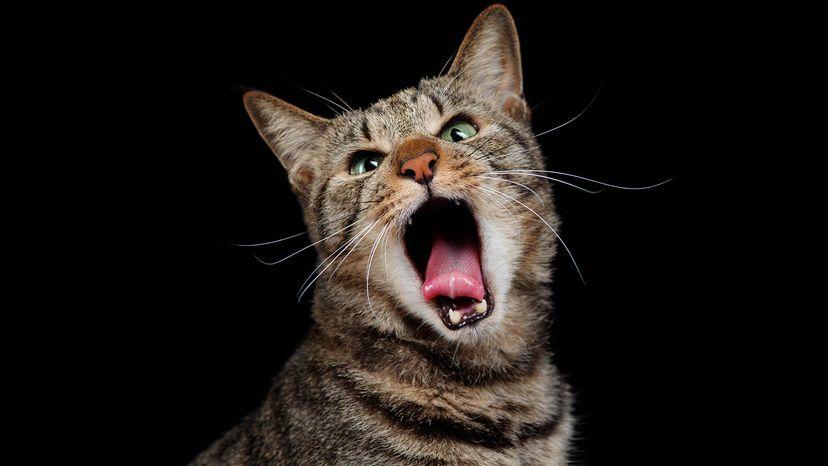 cat howling