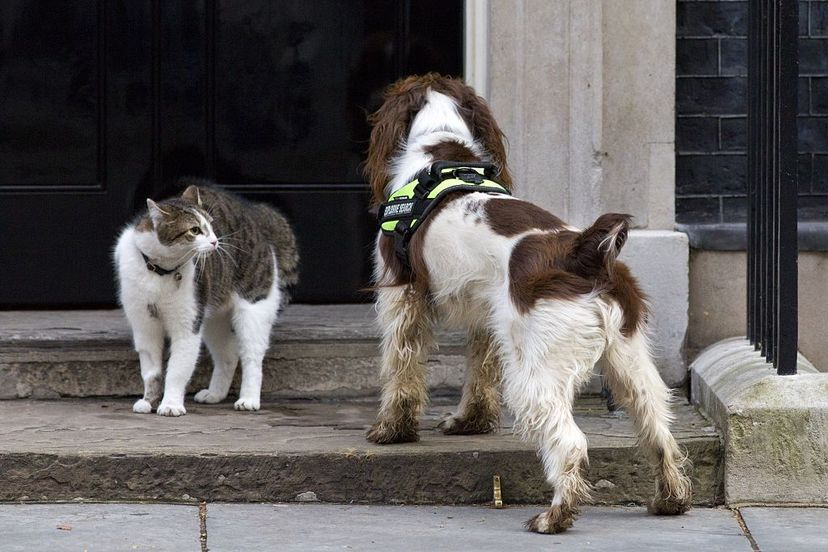 Chief Mouser Larry comes face to face with a police dog called Bailey as it does security checks outside the door of 10 Downing Street in London. JUSTIN TALLIS/AFP/Getty Images
