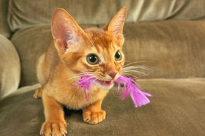 Could a nasty little critter be lurking in your kitty's ears? See more cat pictures.