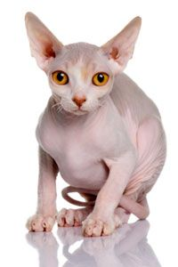 Unless you have a hairless breed, your cat shouldn't look like this. See more cat pictures.