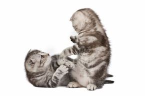 It's cute when kittens play at fighting, but catfights can result in serious wounds. See more cat pictures.