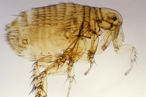 You're looking at the Oriental rat flea (Xenopsylla cheopsis), a primary vector for bubonic plague.