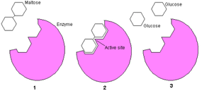 Maltose is made of two glucose molecules bonded together (1). The maltase enzyme is a protein that is perfectly shaped to accept a maltose molecule and break the bond (2). The two glucose molecules are released (3). A single maltase enzyme can break in excess of 1,000 maltose bonds per second, and will only accept maltose molecules.