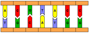 Base pairs in DNA bond together to form a ladder-like structure. Because bonding occurs at angles between the bases, the whole structure twists into a helix.
