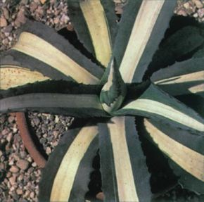 The spiky leaves of the century plant can grow up to five feet across. See more pictures of house plants.