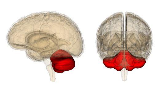 The Cerebellum Is the Body's Little Brain