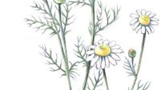 Chamomile: Herbal Remedies
