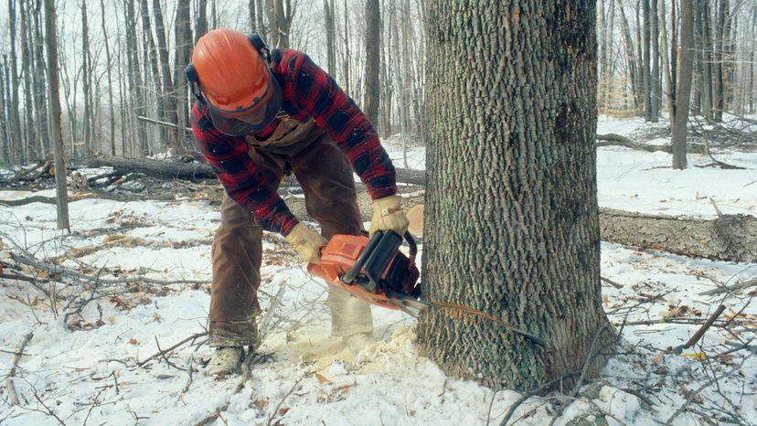Lumberjack using chainsaw to fall a tree