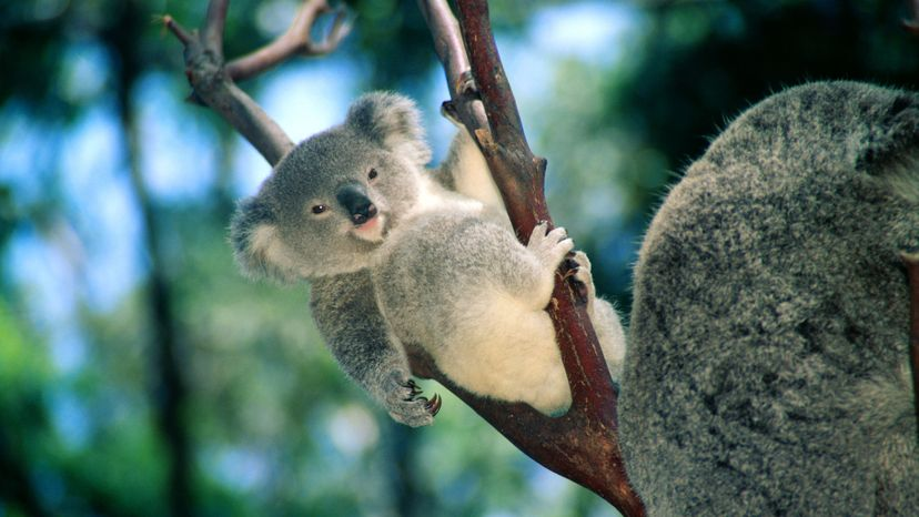 Too cute: The koala is a poster animal for charismatic megafauna. Is this a bad thing? Himani/Getty Images
