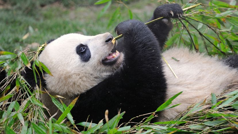 The super-popular giant panda has enjoyed a 17 percent wild population increase, largely due to massive conservation and captive breeding efforts. Christophe Boisvieux/Getty Images