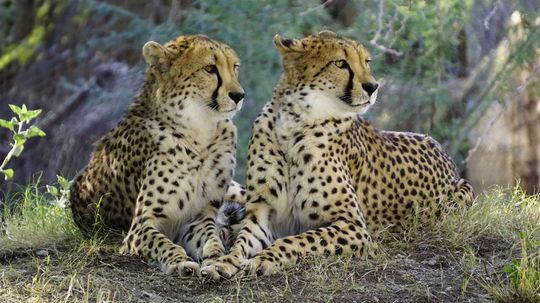 Cheetahs: The Big Cats That Can Totally Pass You on the Interstate