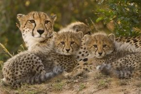 Unlike many other animals, cheetahs often look strikingly similar, especially in terms of their markings. But that doesn't mean their clones right?