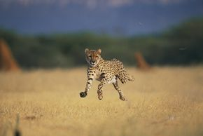 An African cheetah appears to fly -- if only for a second. See more big cat pictures.