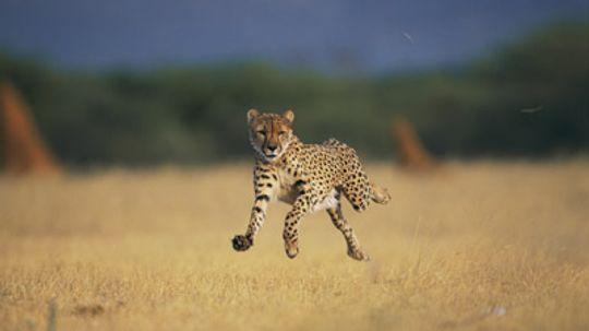 What makes a cheetah run so fast?