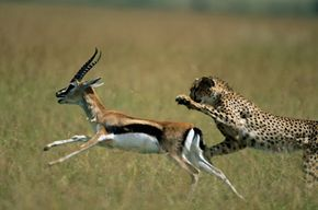 Cheetahs use their incredible speed to hunt light-footed animals like gazelles.