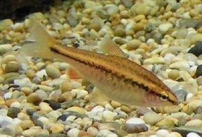 Cherry Barb -- barbus titteya See more aquarium fish pictures.