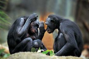 Since chimpanzees share 98.4 percent of human DNA, can they also share our language? See more pictures of monkeys.