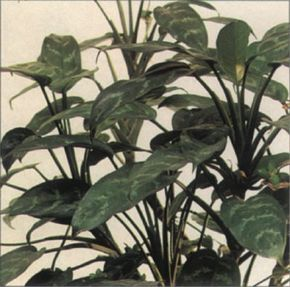 The thick, leathery leaves of the Chinese evergreen can grow up to a foot long. See more pictures of house plants.