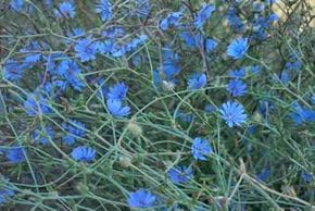 Chicory is grown for its roots and tender shoots.