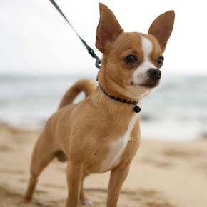 Close-up of a Chihuahua standing on a beach