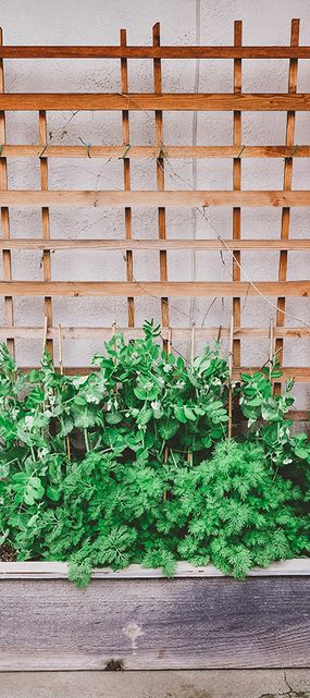 Sugar snap peas growing in raised garden bed with trellis for support