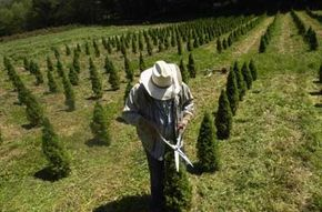 Fraser firs grown at this tree farm in North Carolina get regular trims throughout their 12-year growth cycle.