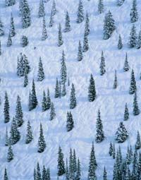 A tiny skier among several Colorado Blue Spruce trees. Could he be looking for the perfect Christmas tree?