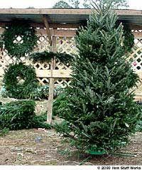 A Fraser fir tree.