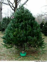 A white pine tree.