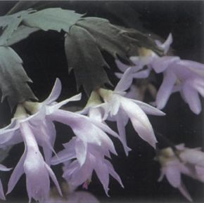 Christmas cactus produces hanging flowers in varied colors. See more pictures of cacti.
