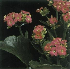 Christmas kalanchoe's flowers can last for months. See more pictures of house plants.