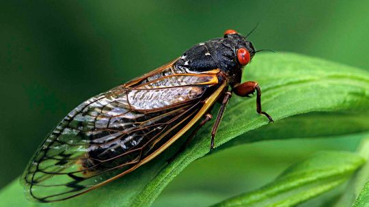 Billions of Brood X Cicadas Are About to Get Loud