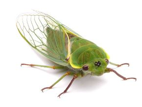 A cicada's high-pitched song repels birds. See more pictures of insects.