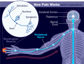 Nerves send pain signals to the brain for processing and action.