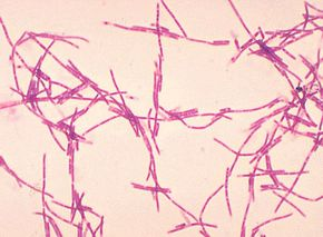 Anthrax bacteria (Bacillus anthracis)