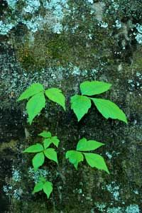 Leaves of three, let them be!