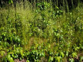 Take extra caution when removing poison ivy from your yard.