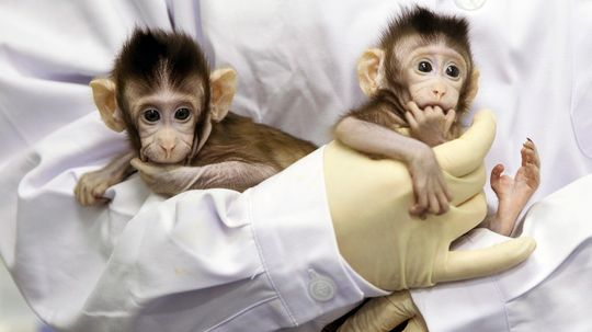Twin Monkeys First-Ever Cloned Like Dolly the Sheep