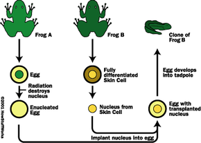 Gurdon's experiment to clone a frog