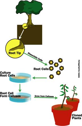 Diagram of plant cloning through tissue culture propagation