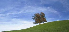 Cirrus clouds hover high above a solitary oak tree on a ridge in the U.K.