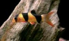 Clown Loach -- botia macrantha See more aquarium fish pictures.