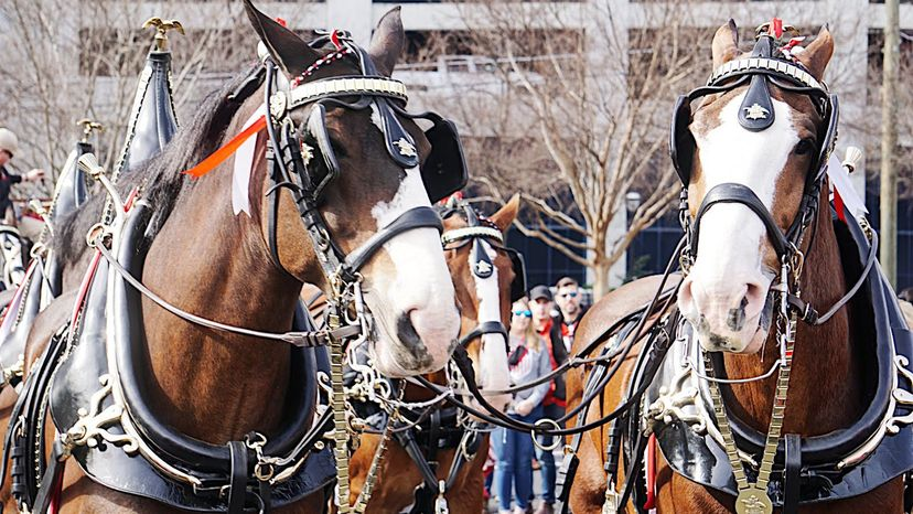 Budweiser, Clydesdales