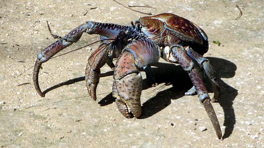 Coconut Crabs: Crustaceans on Steroids