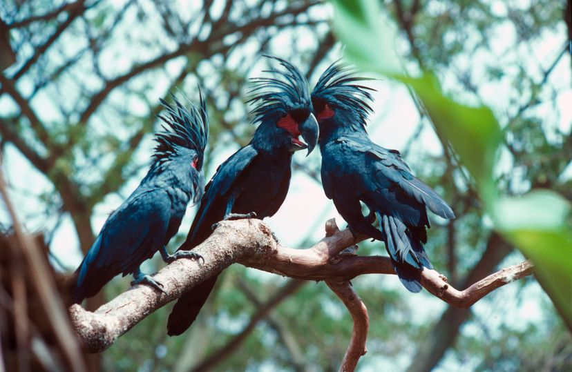Researchers have found that male palm cockatoos create drumsticks -- and drumming patterns -- to attract females. These birds are the only animals, besides humans, who drum for musical purposes. Auscape/UIG/Getty Images/Universal Images Group